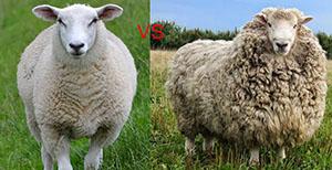 Обычная овца и меринос